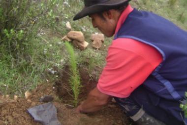 Instalación de plantones de pino radiata
